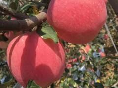 陕西红富士苹果批发供应_铜川有机苹果繁育基地_18392304745