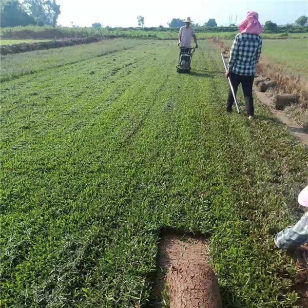 海南大葉油草草卷批發采購 海南大葉油草草卷種植基地