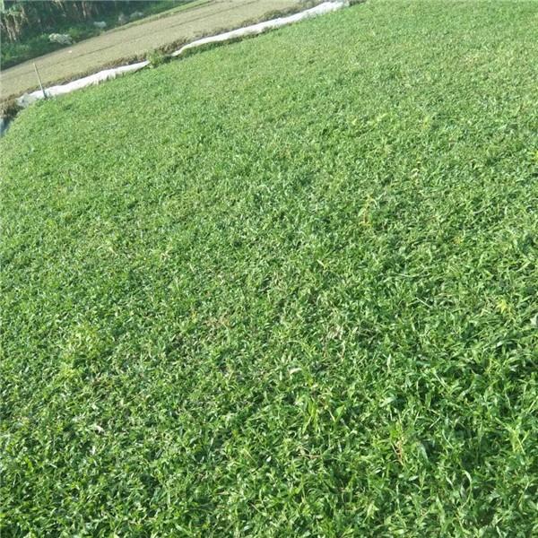 廣東大葉油草草皮種植基地 廣東大葉油草草皮批發采購