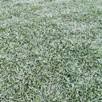 海南大叶油草草皮批发采购 海南大叶油草草皮种植基地