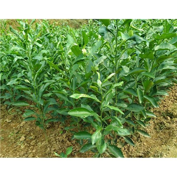 玉林目前金秋早熟沙糖桔苗多少钱哪里有