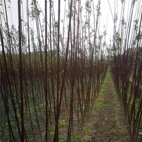 紅毛柳批發報價 紅毛柳種植基地