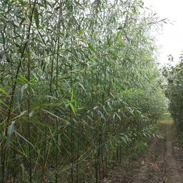 两根一杆柳树苗批发报价 两根一杆柳树苗种植基地
