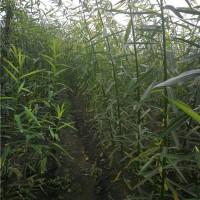 当年生柳树苗批发报价 当年生柳树苗种植基地