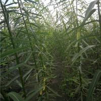 当年生柳树苗种植基地 当年生柳树苗批发报价