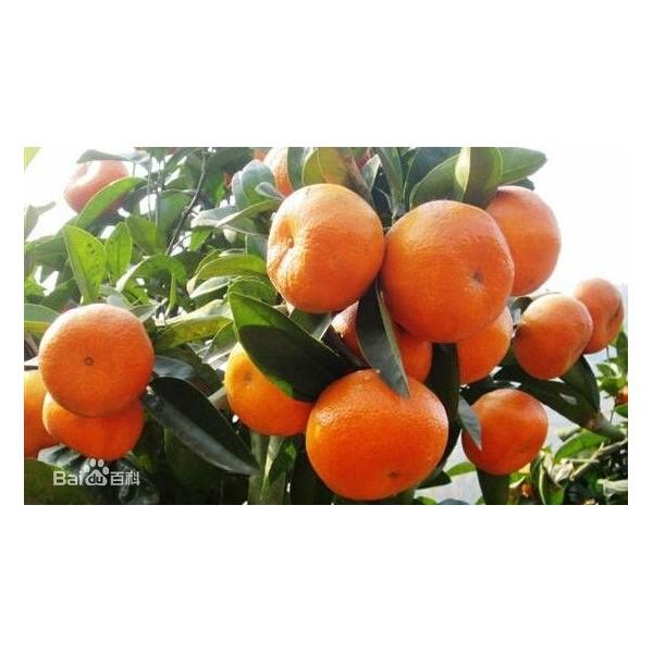 貴陽哪里有默科特橘橙苗供應啊