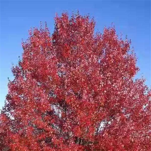 美国红枫—秋火焰