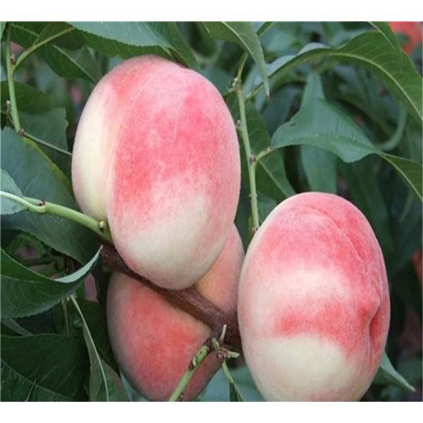 桃白红粉桃树苗