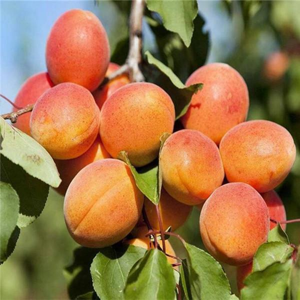 红五八杏树苗