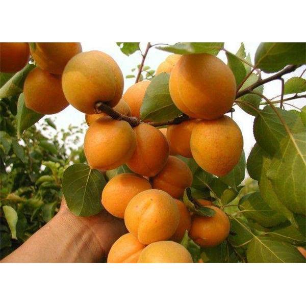 凯特杏树苗