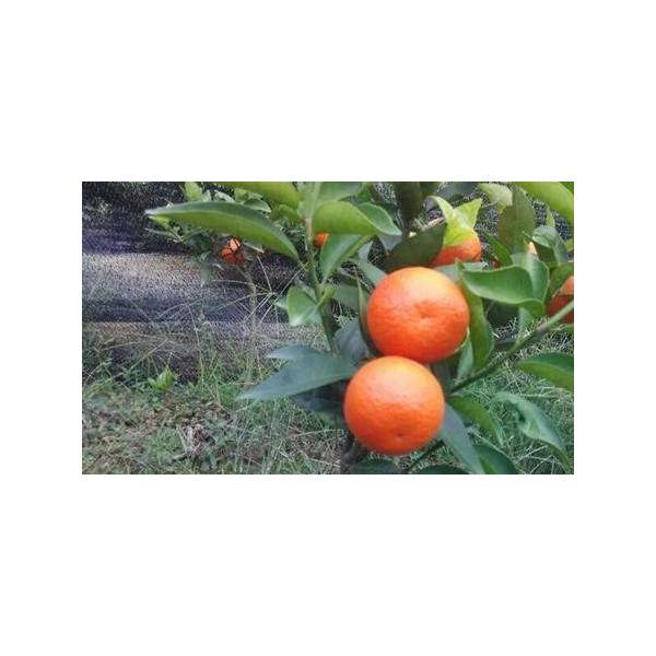 贵州大棚东方红桔子苗价格多少钱
