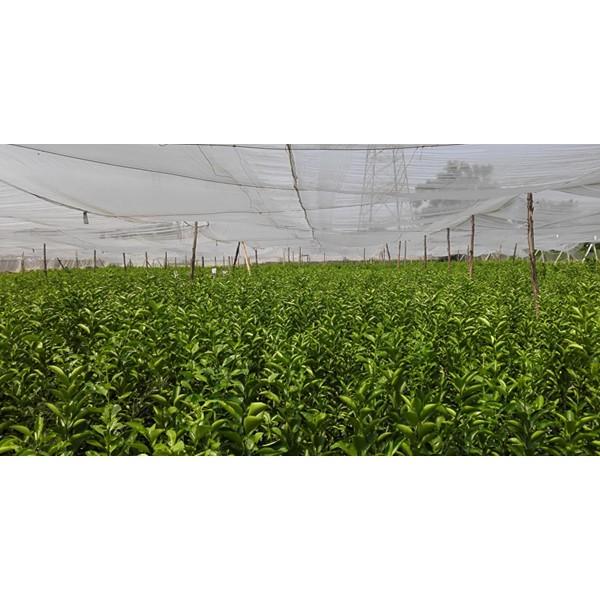 贵州大量批发桔子树苗