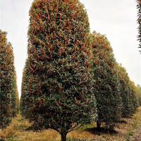 长沙丹桂树苗培育基地 长沙丹桂树苗施工养护