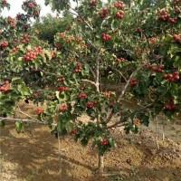 西安山楂树苗供应价格 西安山楂树苗育苗基地