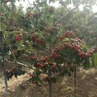 西安山楂树苗育苗基地 西安山楂树苗供应价格