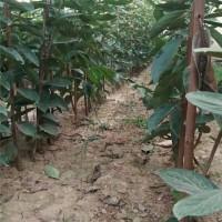 西安柿子树苗育苗基地 西安柿子树苗供应价格