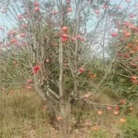 陕西柿子树苗育苗基地 陕西柿子树苗供应价格