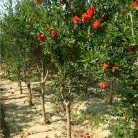 西安花石榴树苗供应价格 西安花石榴树苗育苗基地