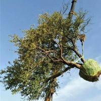 西安石榴树苗供应价格 西安石榴树苗育苗基地