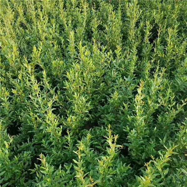 西安石榴樹苗育苗基地 西安石榴樹苗供應價格