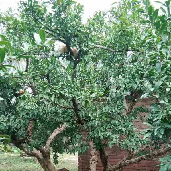 陜西石榴樹苗供應價格 陜西石榴樹苗育苗基地