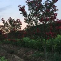 浙江红火箭紫薇供应价格 浙江红火箭紫薇育苗基地