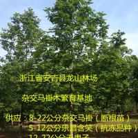 浙江杂交马褂木供应价格 浙江杂交马褂木育苗基地