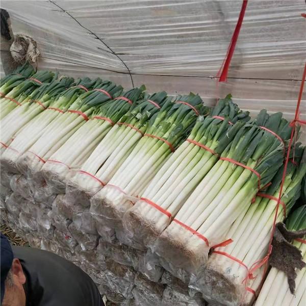 臨沂鐵桿大蔥購銷價格 臨沂鐵桿大蔥種植加工