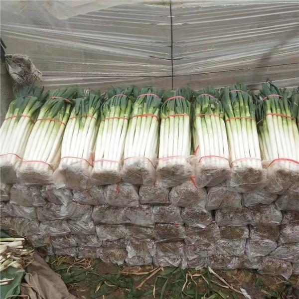 山東鐵桿大蔥種植加工 山東鐵桿大蔥購銷價格