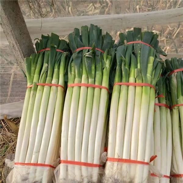 臨沂鐵桿大蔥繁育基地 臨沂鐵桿大蔥供應批發