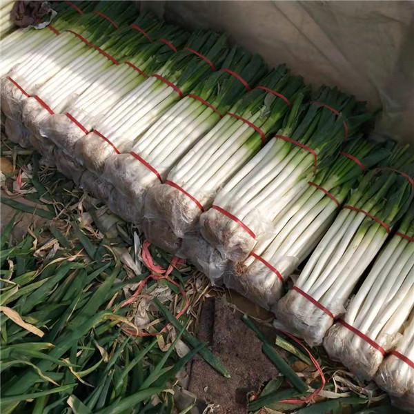 山東鐵桿大蔥供應批發 山東鐵桿大蔥繁育基地