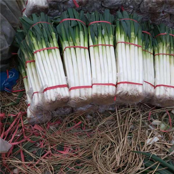 山東鐵桿大蔥繁育基地 山東鐵桿大蔥供應批發