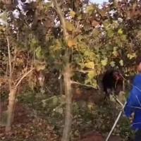 山西山楂树苗采购价格 山西山楂树苗繁育基地