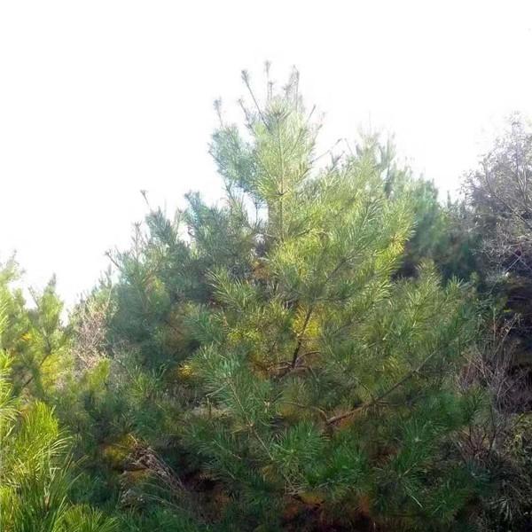 運城油松樹苗采購價格 運城油松樹苗繁育基地