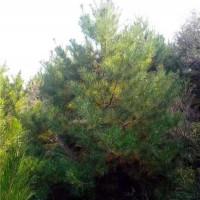 运城油松树苗采购价格 运城油松树苗繁育基地