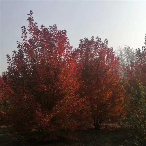 叢生美國紅楓