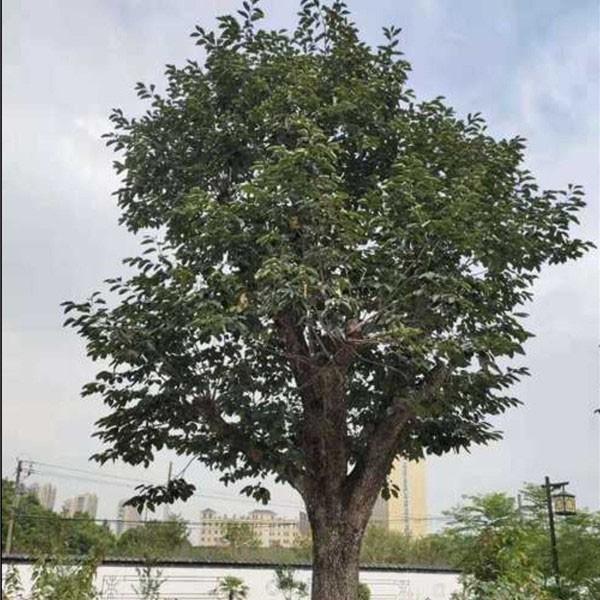 柿子古樹樁景