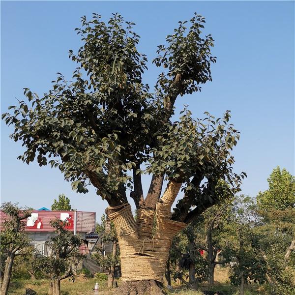 銀杏古樹樁景