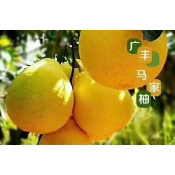 廣豐馬甲柚苗價格   廣豐馬甲柚苗批發價格