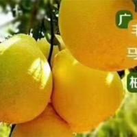 广丰马甲柚苗价格   广丰马甲柚苗批发价格