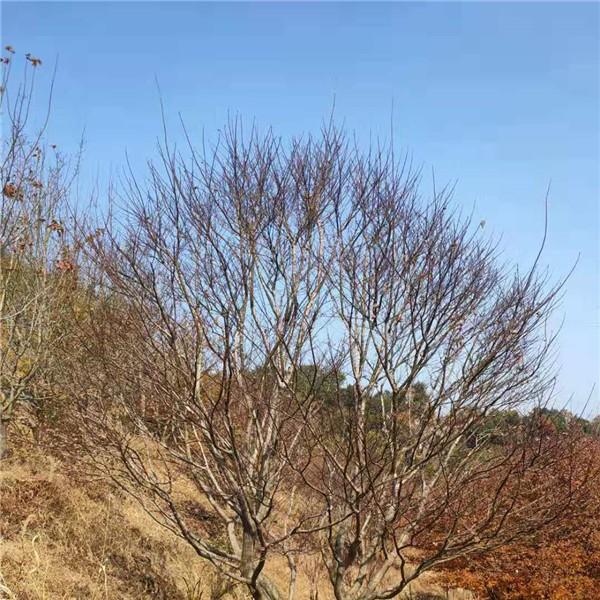 宁波红枫树苗供应价格 宁波红枫树苗繁育基地