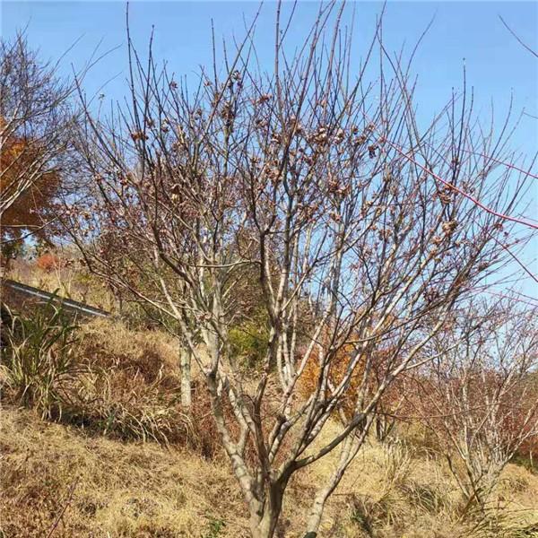 寧波紅楓樹苗繁育基地 寧波紅楓樹苗供應價格