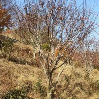 宁波红枫树苗繁育基地 宁波红枫树苗供应价格