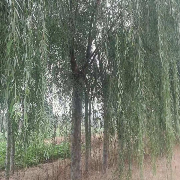 聊城冠縣柳樹培育基地 冠縣柳樹批發價格