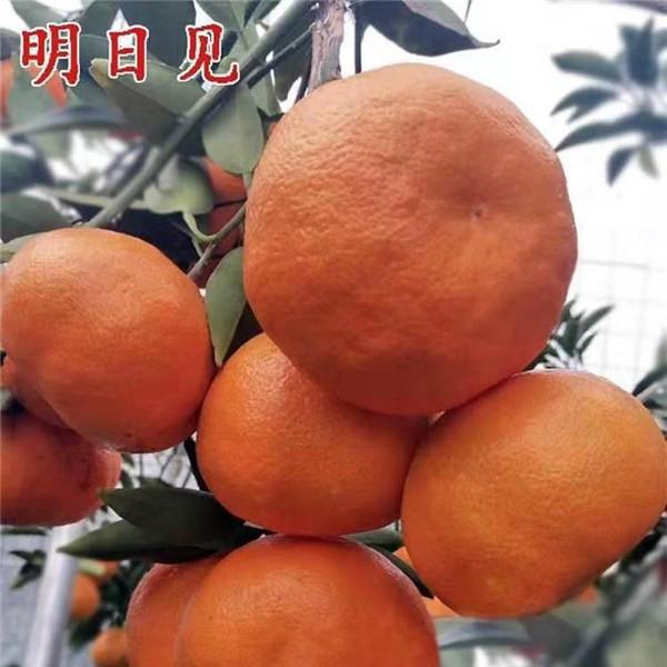 上饒柑橘苗批發基地