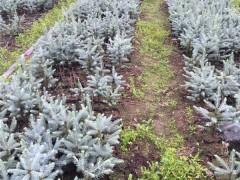 科罗拉多蓝杉供应基地 科罗拉多蓝杉培育苗圃 科罗拉多蓝杉批发价格