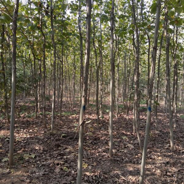 绿化树法桐