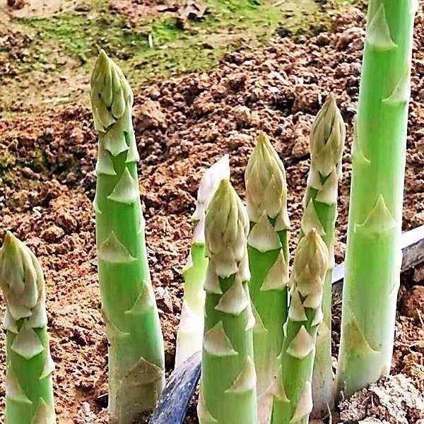 供应特利龙进口芦笋种子