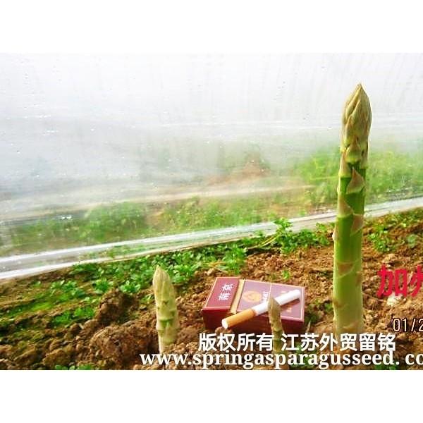 供应加州早生进口芦笋种子