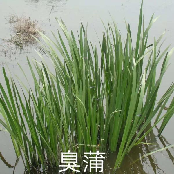 臭蒲,黄菖蒲鸢尾,溪荪鸢尾,紫花鸢尾,绿化花卉